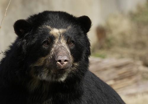 Closeup of an adult Andean Bear