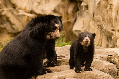 mother bear and cub on rocks