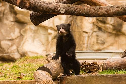 bear cub standing