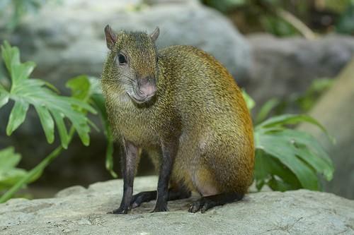 Agouti, a small furry mammal
