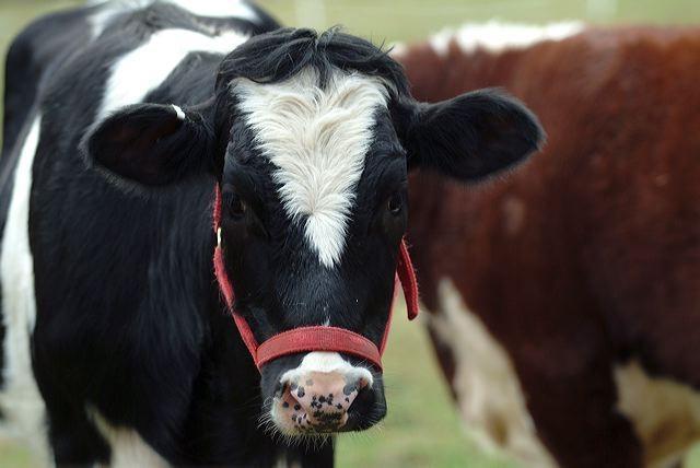 Holstein cow Tulip