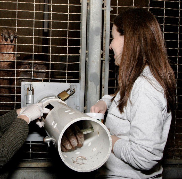 Zoo veterinarians obtain a blood sample from an orangutan.