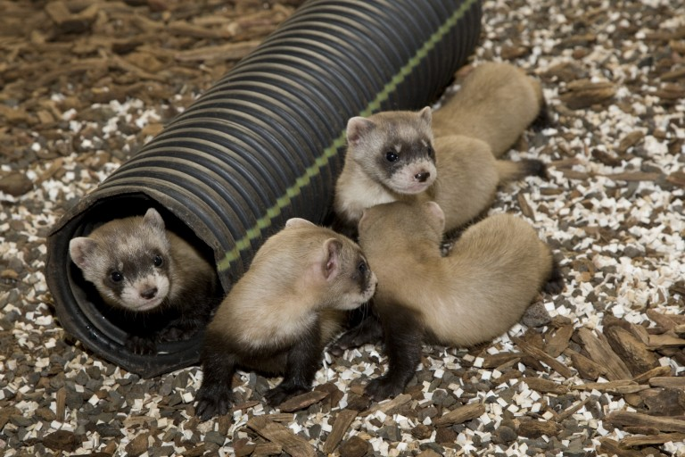 Large pens that include a den and tubing help black-footed ferrets learn to burrow. Familiarizing the animals with underground tunnels increases the chance that they will survive in the wild.