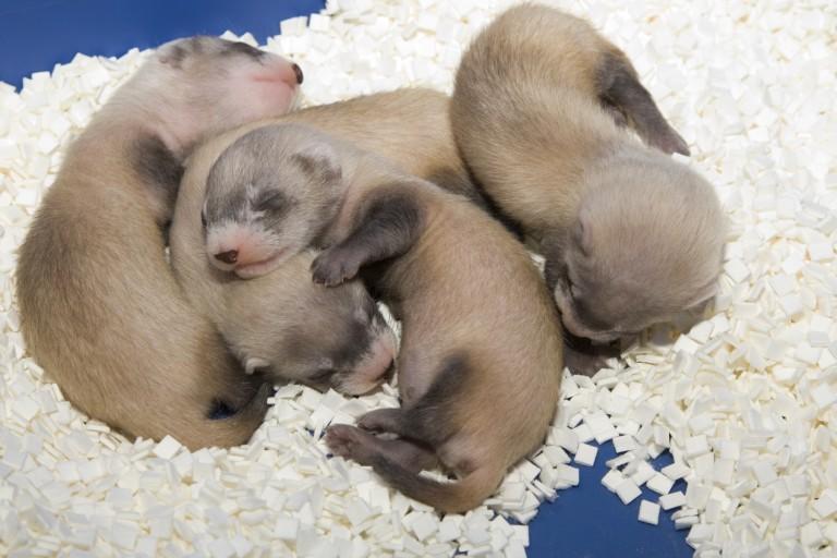 Black-footed ferret kits sleeping.