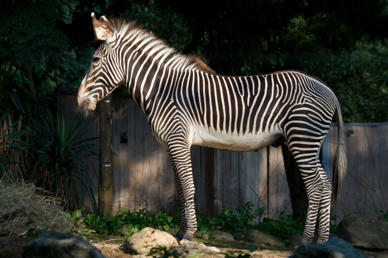 A hoofed animal, called a Grevy's zebra, with black and white stripes, slender legs, large ears, a thick mane and a long tail stands on grass-covered rocks in the sun