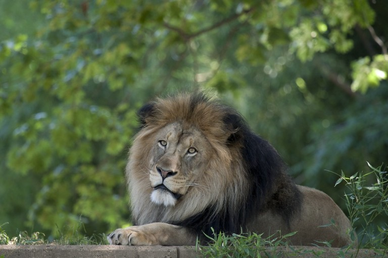 A male African lion with a thick mane and large paws rests on a grassy platform at the Smithsonian's National Zoo