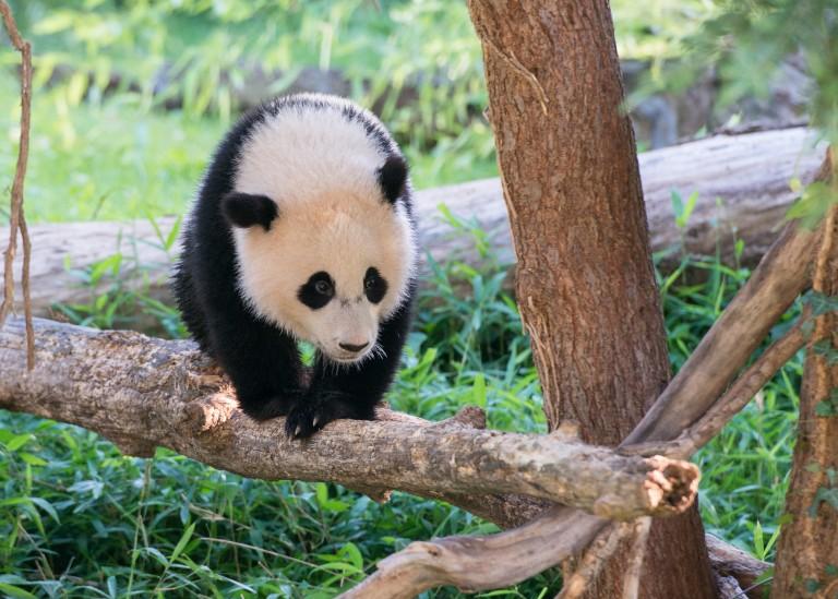 As a cub, Bao Bao seemed to enjoy climbing the trees in her enclosure.