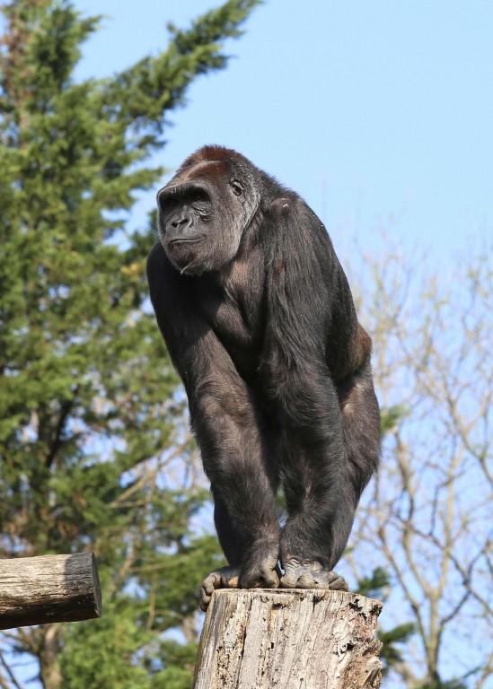 Western lowland gorilla Calaya in the Great Ape House outdoor habitat.