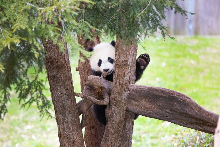 Giant panda Bei Bei sits in a tree appearing to wave