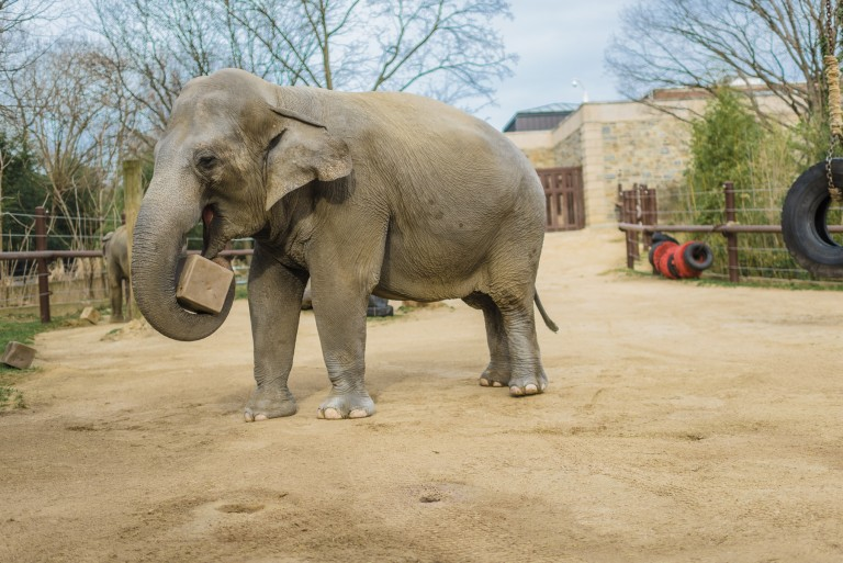 Asian elephant Bozie interacting with enrichment