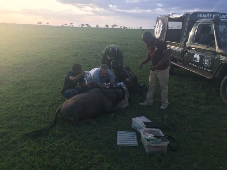 Collaring a Wildebeest