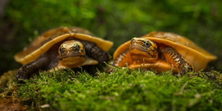 Bourret's Box Turtle Hatchlings