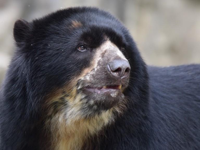 Andean bear Bouba