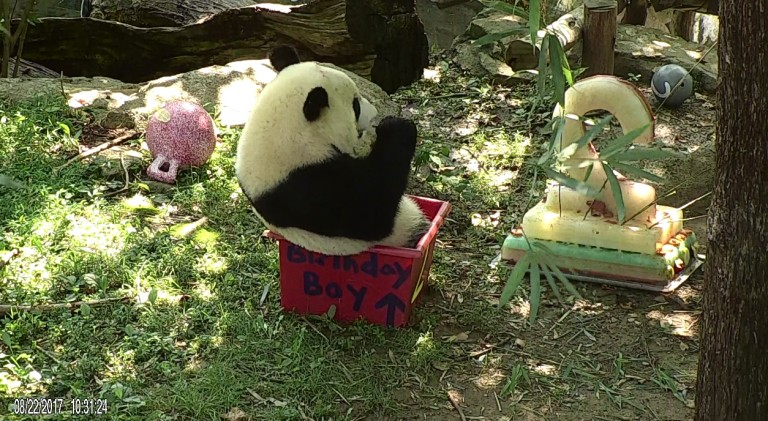 Bei Bei sitting in a birthday-themed enrichment box eating his cake.