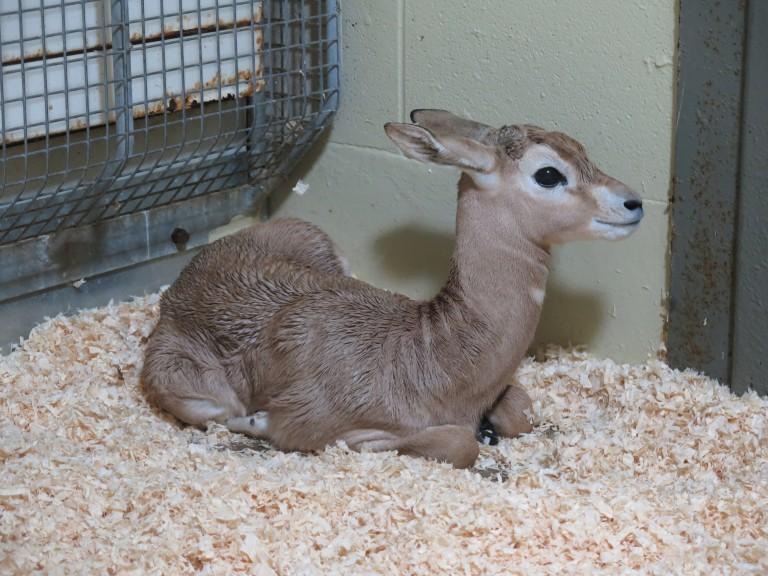 Dama gazelle calf born Aug. 30, 2017.