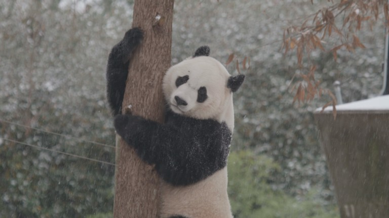 Bei Bei climbing a tree in the snow