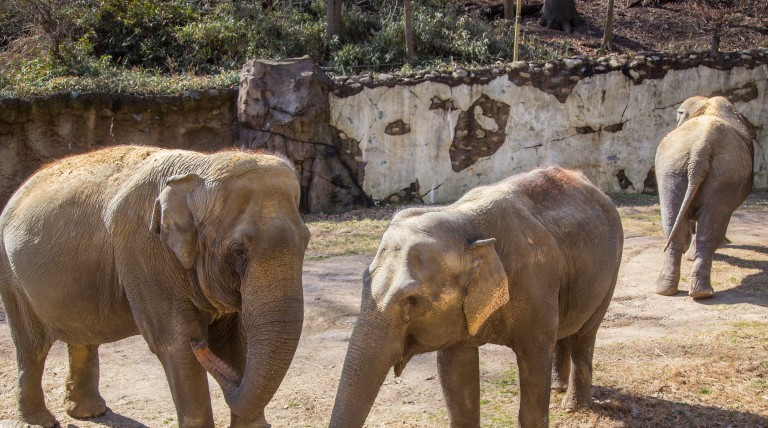From Left: Asian elephants Shanthi, Swarna and Bozie at the Elephant Trails exhibit.