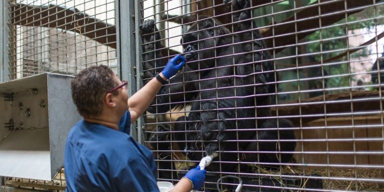 Western lowland gorilla Calaya participates in an ultrasound with animal keeper Melba Brown.