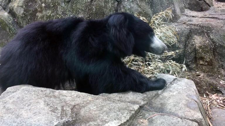 Sloth bear Niko on exhibit at Asia Trail.