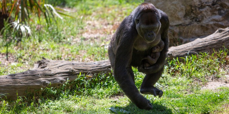 Western lowland gorilla Calaya runs with Moke.