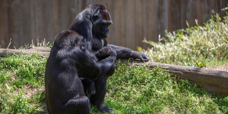 Western lowland gorilla Mandara pats Moke on the head while Calaya supervises.