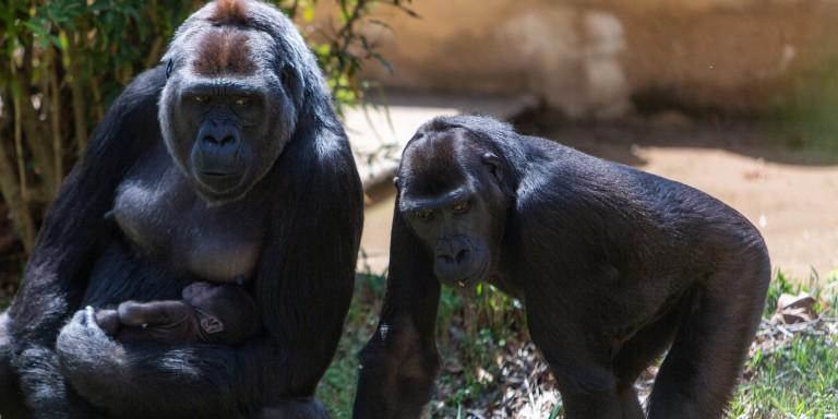 Western lowland gorilla Calaya cradles Moke as Kibibi looks on.