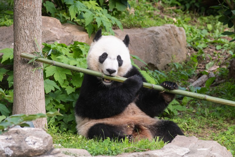 Giant panda Bei Bei munches on a stalk of bamboo.