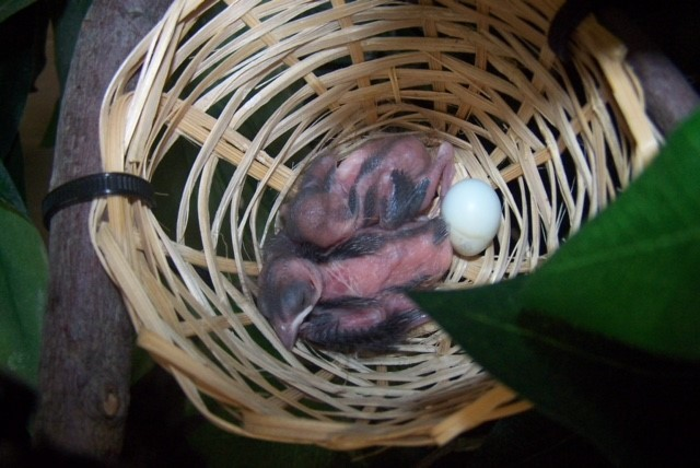 Indigo bunting chicks hatch for the first time in a North American zoo.