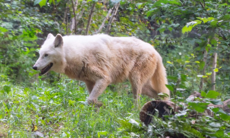 Gray wolf Crystal explores her habitat at the Smithsonian's National Zoo's American Trail Exhibit.