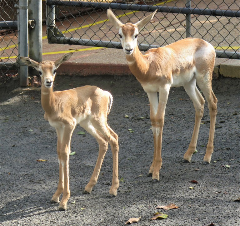Two Dama gazelle calves, a female (left) and male (right), were born at the Smithsonian's National Zoo Oct. 9 and Sept. 7, 2018, respectively.