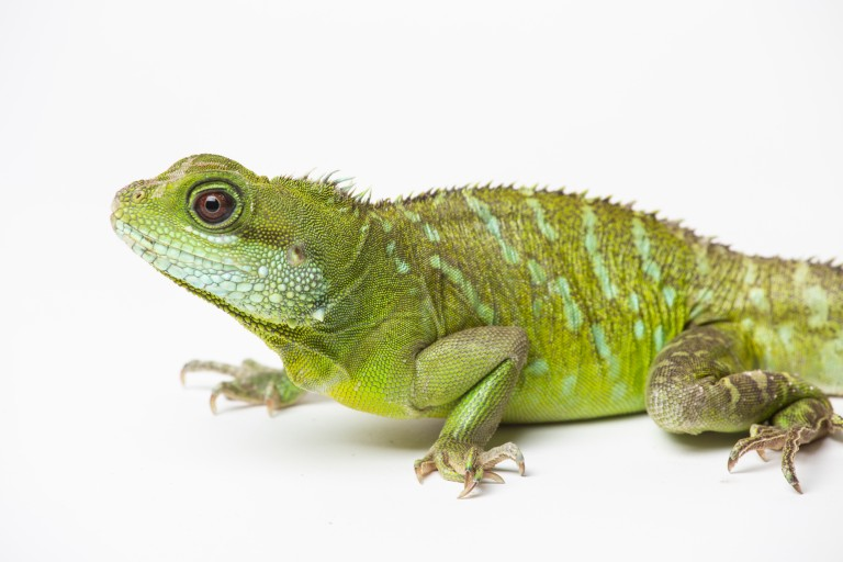 A small green lizard, called an Asian water dragon, with scaly skin, a long, thin, striped tail, small spikes along its spine and short claws on its digits