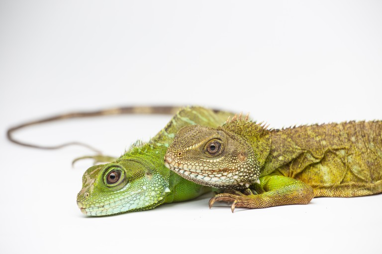 Asian water dragon mother (top) and parthenogenic offspring (bottom).