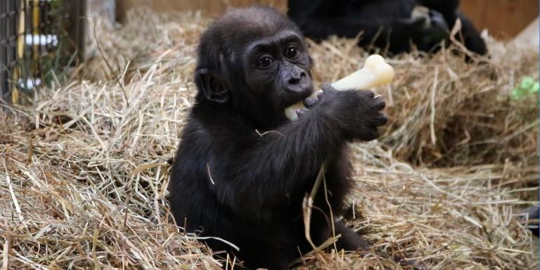 Western lowland gorilla infant Moke chews on a Nyla bone