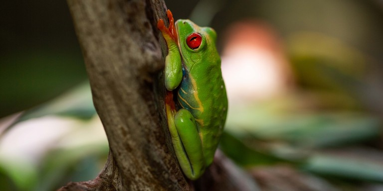 A red-eyed tree frog resting vertically against a tree branch. Its eyes are open, and its legs are tucked under its body
