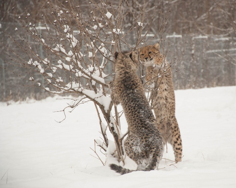 Two young cheetahs play near a small tree in the snow