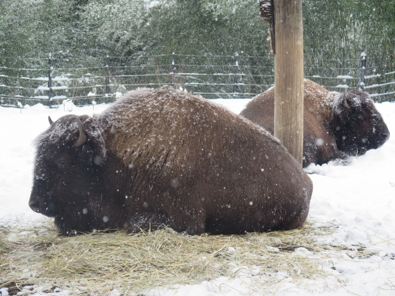 Two American bison resting in the snow