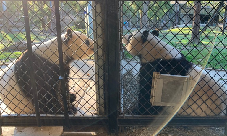 """Tian Tian (left) and Mei Xiang (right) look at each other through the """"howdy"""" window that separates their yards March 28, 2019."""