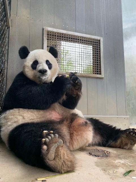 Mei Xiang eating a fruitsicle.