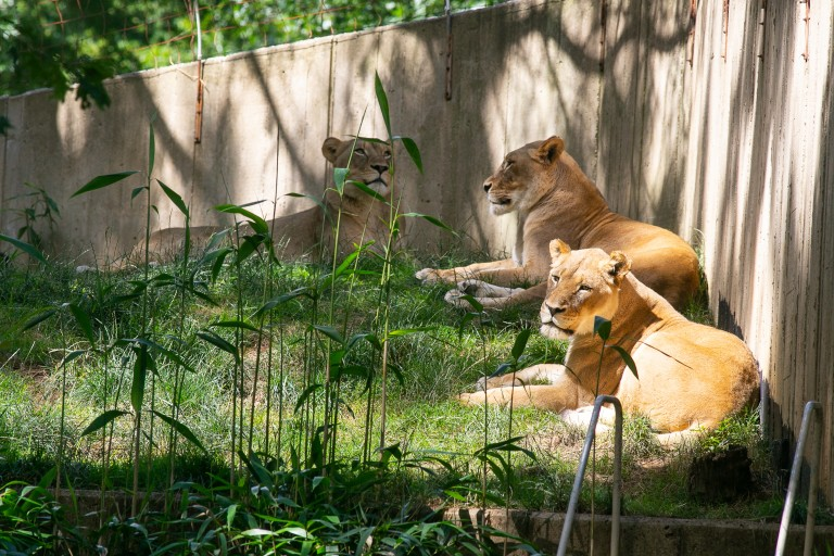 African lionesses in the sunlight.