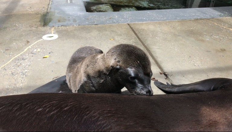 A sea lion pup behind the scenes at American Trail nurses with its mother