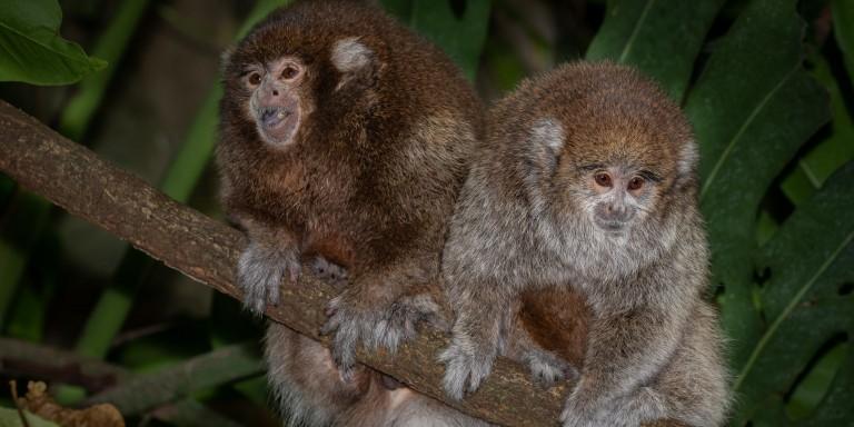 Titi monkeys Henderson (left) and Kingston (right) sit on a branch in the Amazonia rainforest habitat.