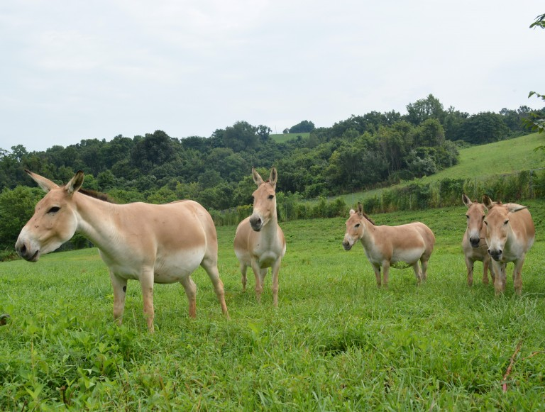 Five female Persian onagers in a field.