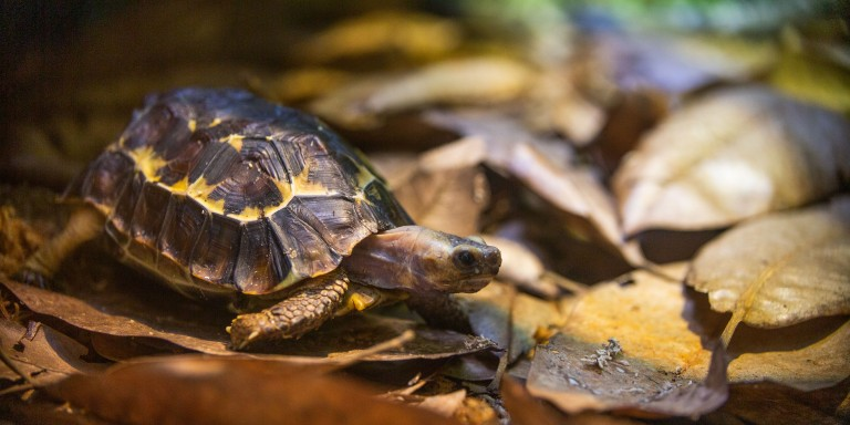 Home's Hinge-Back Tortoise at the Reptile Discovery Center