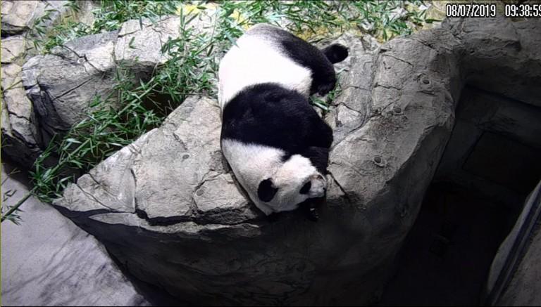 Giant panda Mei Xiang sleeping on a rock inside the panda house.