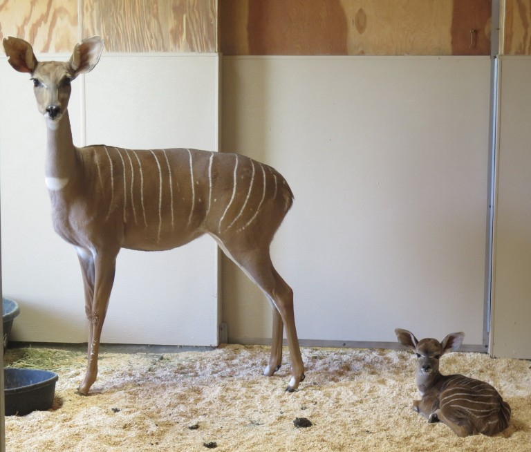 Lesser kudu female Rogue with her newborn male calf behind the scenes at the Zoo's Cheetah Conservation Station.