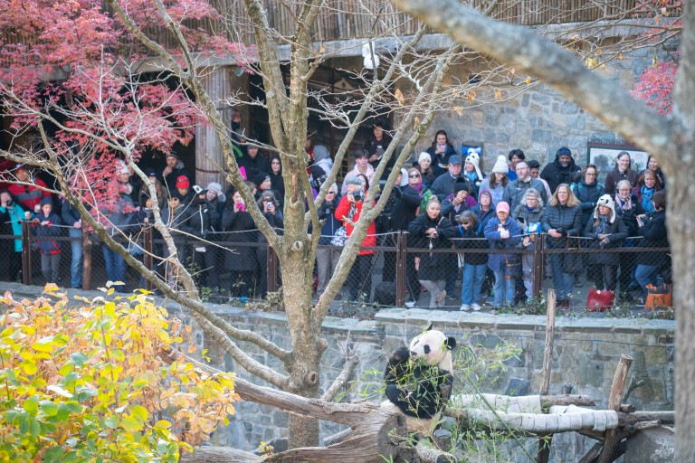 Giant panda Bei Bei eats bamboo while a crowd looks on