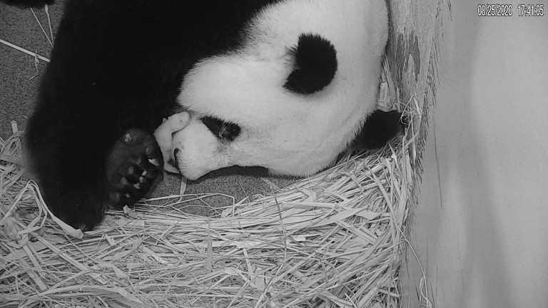 Giant panda Mei Xiang rests with her newborn cub tucked under her chin inside their den