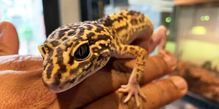 Iranian fat-tailed gecko