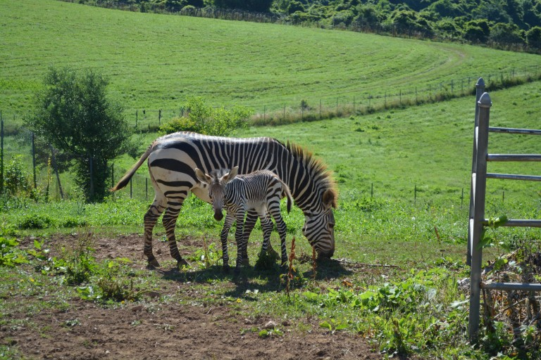 For the first time in the Smithsonian Conservation Biology Institute's (SCBI) history, ungulate keepers celebrated the birth of a male Hartmann's mountain zebra at the Front Royal, Virginia, facility. The colt was born overnight July 2, 2020.