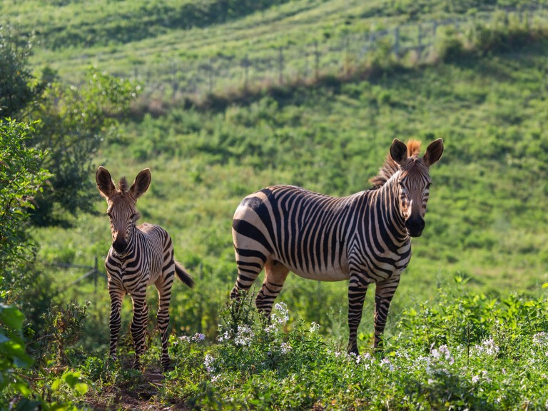 Hartmann's mountain zebra Yipes (left) at 28 days old with his mother, Mackenzie.